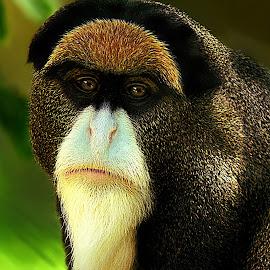 Da Brazza's Monkey by Shawn Thomas - Animals Other Mammals