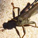 Bird grasshopper (female)