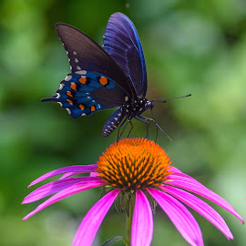 Butterlfy Garden by Deborah Lucia - Flowers Single Flower ( orange, green, blue, butterfly, purple, colorful, flower,  )