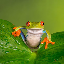Bright eyes by Garry Chisholm - Animals Amphibians ( garry chisholm, chameleonphotography, nature, red eyed tree frog, amphibian )