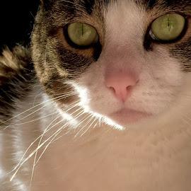 Vision by Jon Ablicki - Animals - Cats Portraits ( cats, cat, color, whiskers, fur, feline, nose, felines, portrait, eyes )