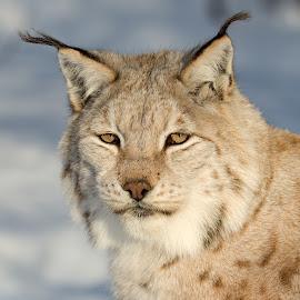 by Anngunn Dårflot - Animals Lions, Tigers & Big Cats