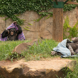Not Part of the Group by Eva Ryan - Animals Other Mammals ( blanket, play, oklahoma_city_zoo, animal,  )