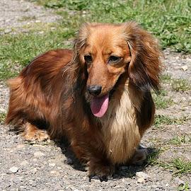 Eva by Chrissie Barrow - Animals - Dogs Portraits ( tongue, female, dachshund (miniature long haired), pet, ears, fur, legs, dog, nose, cream, tan, eyes )