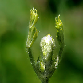 Abstract by Gaylord Mink - Abstract Macro ( plant, abstract, hands, gree )