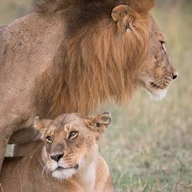 Love in the Mara by Vicki Santello - Animals Lions, Tigers & Big Cats ( big cats, maasai mara, wildlife photography, kenya, lions, africa )