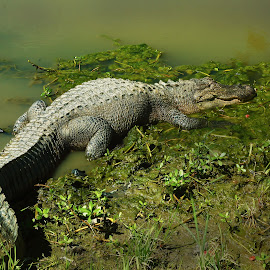 a little sun by Jim Oakes - Animals Reptiles ( day, gator, pond, sunning, animal )