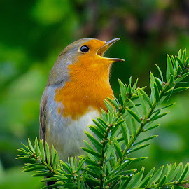 European Robin by Nick Swan - Animals Birds ( bird, robin, uk, nature, singing, wildlife )