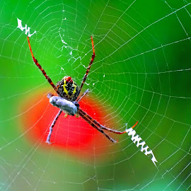 Spider  by Asif Bora - Animals Insects & Spiders