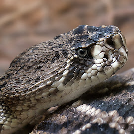 Rattler by Shawn Thomas - Animals Reptiles