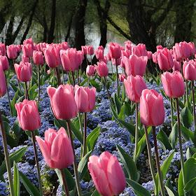 ružićasti tulipani i plavi nezaboravak kraj jezera.jpg