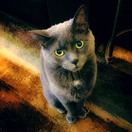 Leia the Cat by Kimberly Sheppard - Animals - Cats Portraits ( cat, pets, grey, feline, animal )