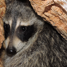 A Scared Raccoon  by Cindy Cooper Houser - Animals Other Mammals ( coon, animals, scared, raccoon, mammal, animal,  )
