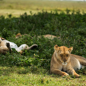 il dolce far niente by Rosu Alexandru - Animals Lions, Tigers & Big Cats ( lion, wasted, grass, lioness, wildlife, sleeping, lions, africa,  )