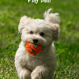 Play Ball! by Jennifer McWhirt - Typography Captioned Photos ( playing, ball, dogs, illustration and design, white dog, puppy, typography, coton de tulear, running )