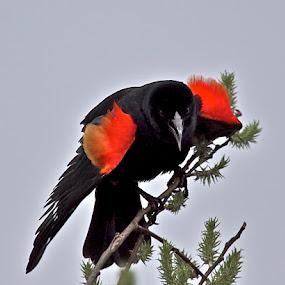 Red-winged Blackbird by Larry Kaasa - Animals Birds ( bird, nature, male, agelaius phoeniceus, birds, animal, red-winged blackbird )