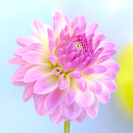 Purple Dahlia #9 by Jim Downey - Flowers Single Flower ( blue, dahlia, yellow, purple, petals )