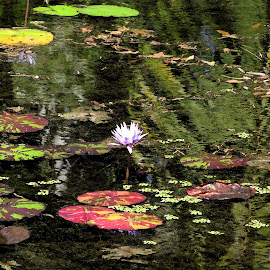 Watercolor Pond by Christine B. - Landscapes Waterscapes ( mckee's botanical garden, watercolor, florida, lilies, pond,  )