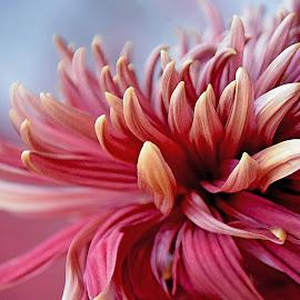 Mum Tips by Millieanne T - Flowers Single Flower