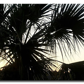 Tropical Sunset by Laurel Rowe - Instagram & Mobile Android ( palm tree, florida.anastasia island, sunset, silhouette, fronds, dusk, black )