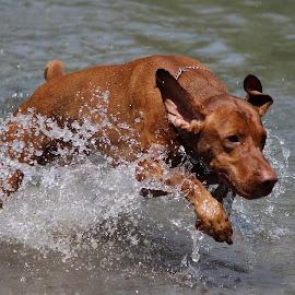 by Zlatko Gašpar - Animals - Dogs Running