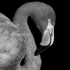 Flamingo Right6 blk bw.JPG