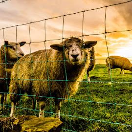 Field of Sheep by Darren Eves - Landscapes Prairies, Meadows & Fields ( field, fence, sky, sheep, sun )