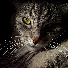 *** by Jurijs Ratanins - Instagram & Mobile Other ( look, mobilography, cat, portrait, animal )