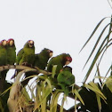 Mitred Parakeets