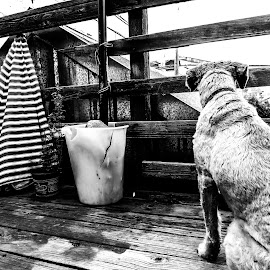 The Lookout by Alex Halbur - Animals - Dogs Playing ( fence, wood, black and white, crack, summer, patio, puppy, lines, deck, dog, porch )