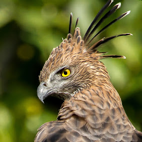 Crested Hawk Eagle by S Balaji - Animals Birds (  )