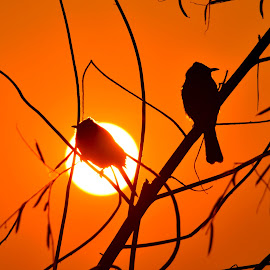 Before the Sunset by Al-Amin Ovro - Novices Only Wildlife ( bird, orange color, sunset, silhouette, outdoor, artistic, wildlife, tree branches, birding )