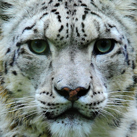 Snow Leopard by Chris Toff - Animals Lions, Tigers & Big Cats ( whiskers  eyes nose mouth leopard snow cat big white )