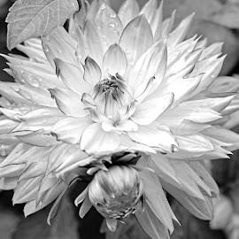 White dahlia by Michaela Firešová - Black & White Flowers & Plants ( black and white, dahlia, flower )