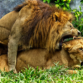by Charliemagne Unggay - Animals Other Mammals ( mating, wildlife )