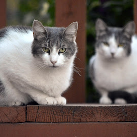 Cats by Anna Cole - Animals - Cats Portraits ( looking, cats, animals, cat, stairs, sitting, white, brown, gray, animal )