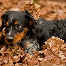 Brittany Spaniel playing in leaves by Jenny Trigg - Animals - Dogs Playing ( playing, autumn, spaniel, puppy, brittany spaniel )