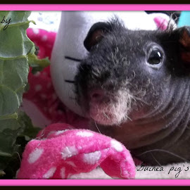 Guinea pig  by Leanna Leger - Typography Captioned Photos ( pet, rodent, skinny pig, guinea pig )