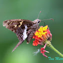 Blurry-striped Longtail