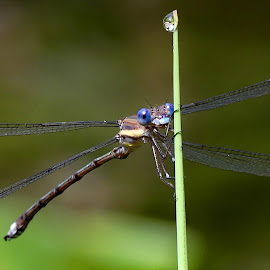 by Nelin Reisman - Nature Up Close Other Natural Objects ( ponds, nature, gardens, landscape, dragonflies, insects with wings )