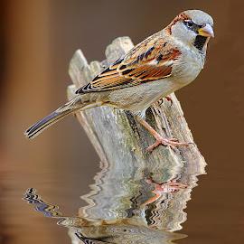 Moineau commun by Gérard CHATENET - Animals Birds