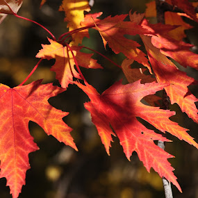 autumn maple leaves by Debra Lynde - Nature Up Close Leaves & Grasses ( orange, red, pwcautumn, leaves, maple leaves )