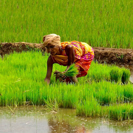 PLANTING RICE by Doug Hilson - People Street & Candids ( planting rice, woman, india )