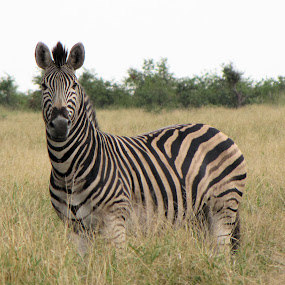 Zebra by Jacques De Villiers - Novices Only Wildlife