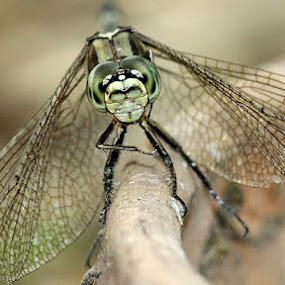 dragonfly by Ateddi S - Animals Insects & Spiders