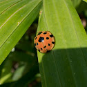 Large-spotted ladybird beetle