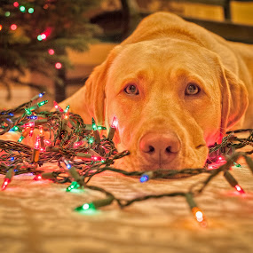 How many treats do I get? by Lorella Johnson - Animals - Dogs Portraits ( dog lights christmas tree )