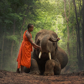 Monk with  elephants . by Visoot Uthairam - Animals Other Mammals ( face, monk, walking, elephant, thailand, wildlife, tusk, travel, people, tranquil, tree, indonesia, asia, ivory, indigenous, men, wild, orange, saffron, animals, novice, symbol, grass, national, male, poor, forest, vietnam, traditional, tourism, adult, robe, mammal, buddha, rural, myanmar, sitting, praying, local, culture, large )
