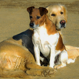 by Claudia Lothering - Animals - Dogs Playing