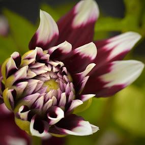 From Bud To Flower by Marco Bertamé - Flowers Single Flower ( purple, petals, green, white, summer, dark purple, bud, dahlia )